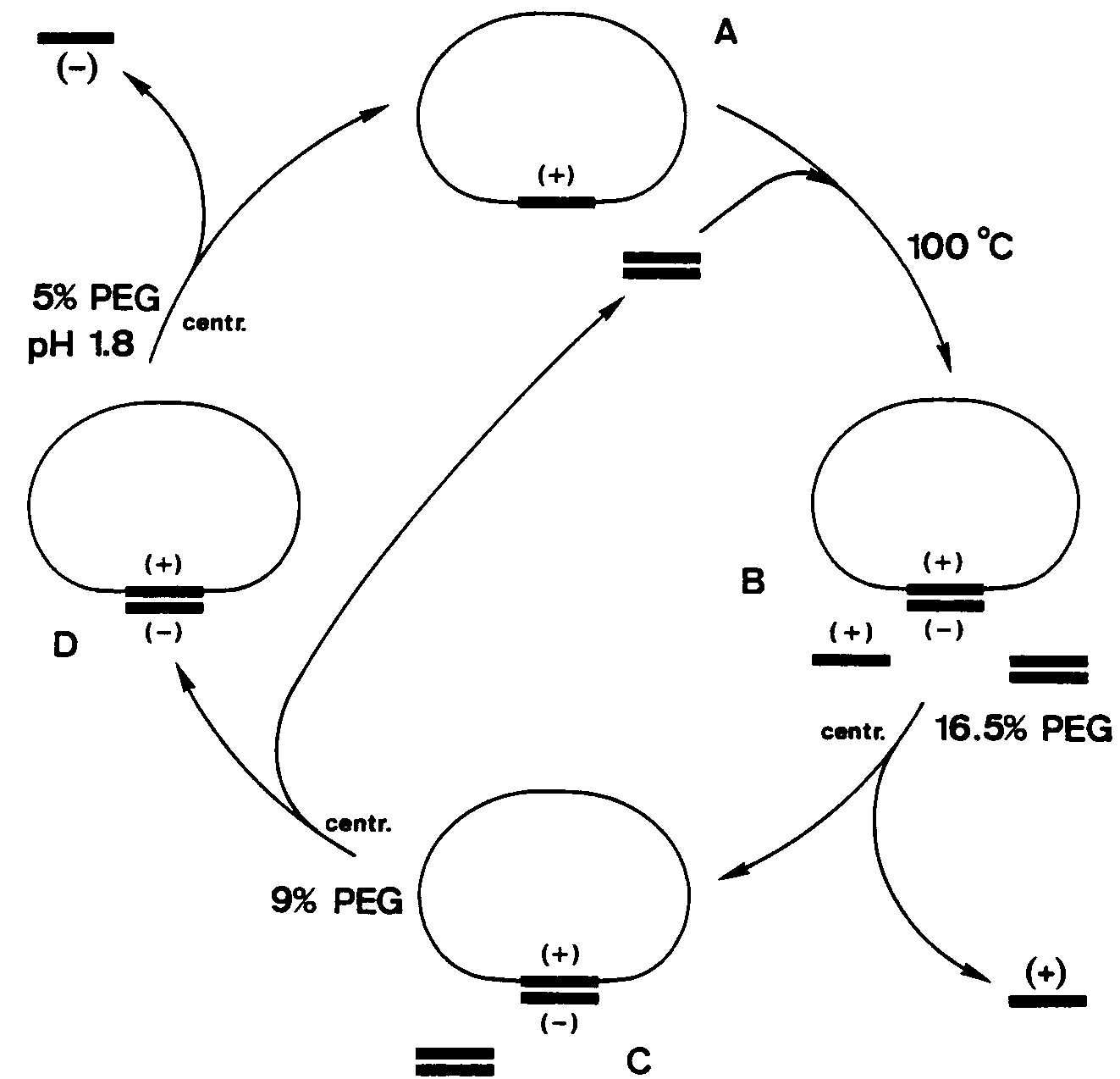 Diagrammatic representation of the purification of the two strands of a DNA molecule.