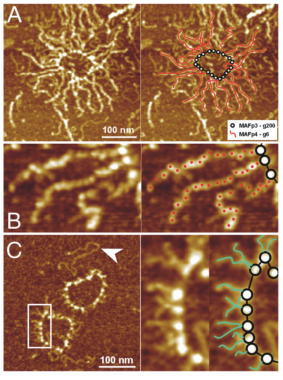 High-resolution atomic force microscopy of cell adhesion proteoglycans.