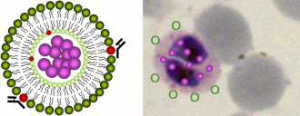 Design of a nanovector for targeted antimalarial drug delivery.